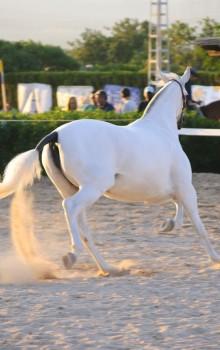 caballo blanco hermoso-min